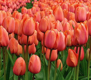 TULIPE 'Apricot Beauty'' int