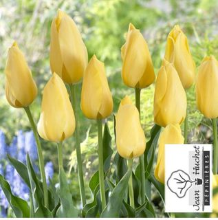 Tulipe - Tulipes simples tardives 'Big Smile' - Bulbe