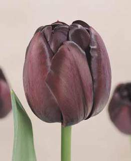 TULIPE 'Black Hero'' int