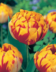 TULIPE 'Golden Nizza' int plantes.ch