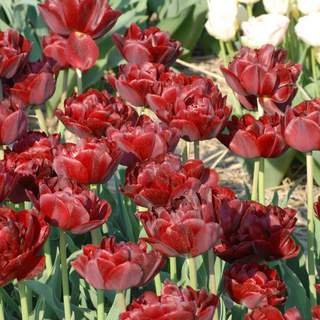 TULIPE 'Oncle Tom' int