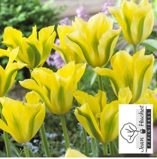 Tulipe - Tulipes viridiflora 'Yellow Spring Green' - Bulbe