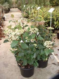 viburnum tinus laurier tin arbuste. Black Bedroom Furniture Sets. Home Design Ideas