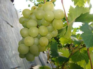 Vigne 'Italien' at