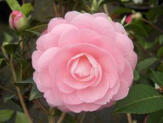 CAMELLIA 'waterlily'