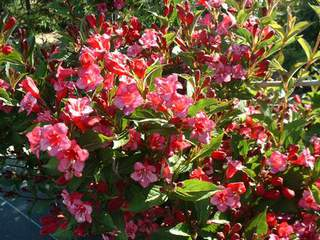 WEIGELIA  'Bristol Ruby'