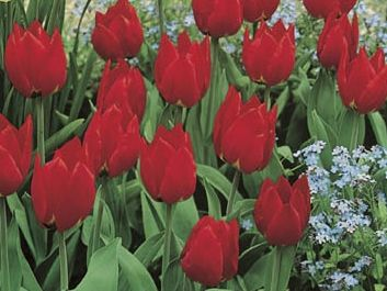 TULIPA 'Red Paradise' int