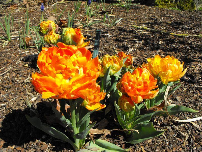 Tulipes fleurs de pivoine 39 orca 39 tulipe bulbe - Bulbes a floraison automnale ...