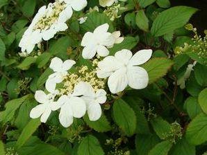 viburnum plicatum 39 watanabe 39 viorne arbuste. Black Bedroom Furniture Sets. Home Design Ideas