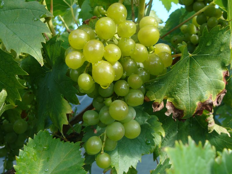 Vigne 'Amandin' at