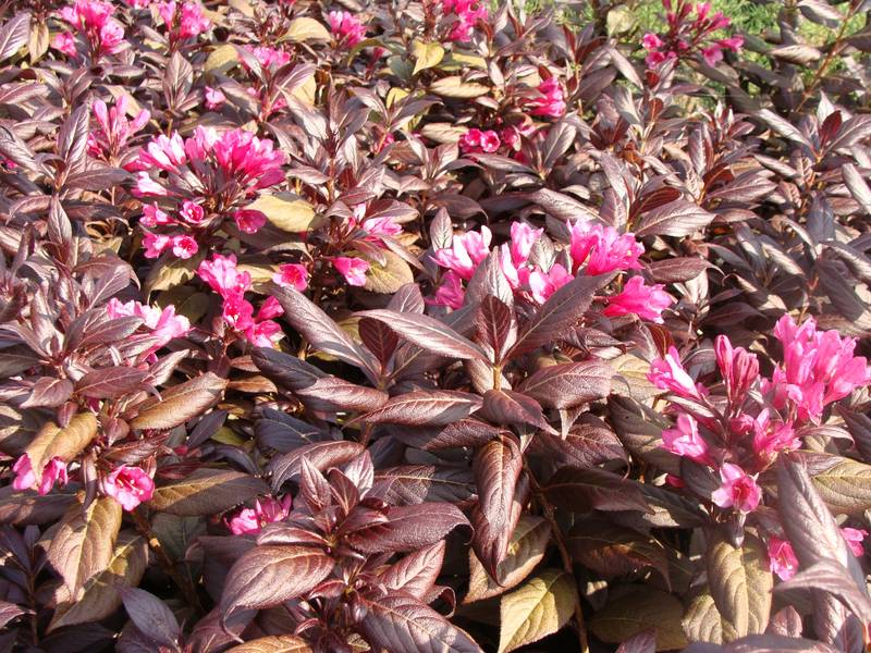 WEIGELIA 'Minor Black' 2